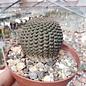 Lobivia famatimensis WR 127  Famatina, La Rioja