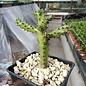 Edithcolea grandis  cv. Yellow Corona