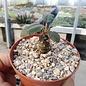 Dorstenia mecca Lav. 20541