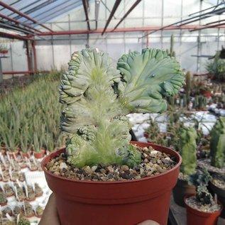 Myrtillocactus geometrizans  strictum   cristata