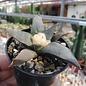 Ariocarpus trigonus v. confusus     CITES, not outside EU