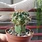 Discocactus hartmannii v. mamillosus HU 191 Maneco, Mato Grosso do Sul, Brasilien gepfr.  CITES, not outside EU