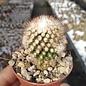 Mammillaria gracilis-Hybr. Philippe