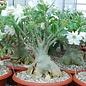 Adenium obesum cv. Pure White XXL