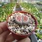 Lithops karasmontana v. mickbergensis cv. Red Tops