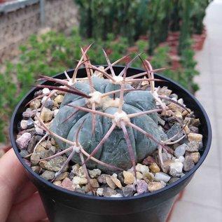 Echinocactus horizonthalonius   Sierra Paila