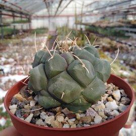 Thelocactus rinconensis Sandia 148-204