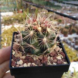 Thelocactus bicolor   La Soledad