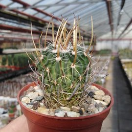 Stenocactus obvallatus