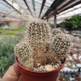 Gymnocalycium bruchii f. albispinum