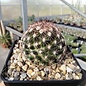 Escobaria vivipara Lz 396 v. arizonica nördl. Toroweap Point, AZ, um 1600 m, steiniger Lehm-Sand-Boden     (dw)