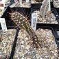 Austrocactus hibernus       (dw)