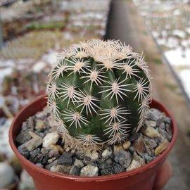 Echinocereus pectinatus v. wenigeri ctenoides  Mel. Muzquiz, Coahuila, Mx