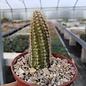 Chamaecereus silvestrii-Hybr. cv. Perla di Verona