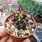 Copiapoa humilis ssp. australis  Cerro Colorado Huasco, Chile