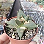 Ariocarpus retusus  v. scaphirostrioides    CITES, not outside EU