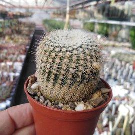 Notocactus mueller-melchersii ssp. gutierrezii