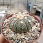 Astrophytum asterias-Hybriden cv. Roseiflora