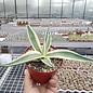 Agave parryi cv. Cream Spike