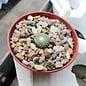 Blossfeldia liliputana wurzelecht!