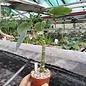 Adenia lapiazicola  Röö/Hoff.49/02 S. Diego Suarez, Madagaskar, heiß und trocken
