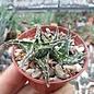 Aloe descoingsii v. augustina   Tulear   CITES, not outside EU