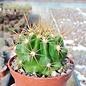 Ferocactus viridescens v. littoralis  San Telmo
