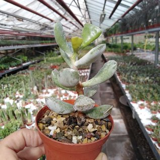 Adromischus filicaulis ssp. filicaulis PAB 420 Pakhuis Pass, S-Africa, ex A.tricolor