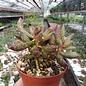 Adromischus filicaulis ssp. filicaulis