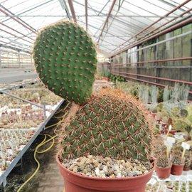 Opuntia pycnantha   Stachelschwein-Kaktus