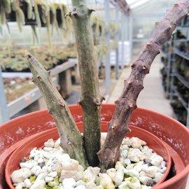 Ceropegia stapeliiformis  ssp. stapeliiformis
