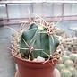 Ferocactus histrix cv. Brunispina