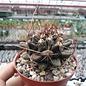 Thelocactus tulensis   Tula