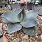 Agave parryi v. truncata cv. Ronde