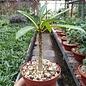 Pachypodium rutenbergianum