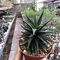 Haworthia icosiphylla