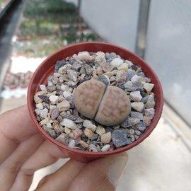 Lithops Hybr. Sunstone