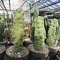 Lophocereus schottii cv. Monstruosus