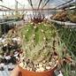 Copiapoa grandiflora  WK 805 Chile (OS)