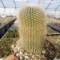 Notocactus leninghausii cv. albispina