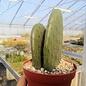 Opuntia ficus-indica-Hybr. Gemüseopuntia Verdura 1 Colegio de Postgraduados, Chapingo, Mexiko