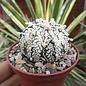 Astrophytum CAPAS cv. Super Kabuto