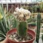 Astrophytum myriostigma cv. Fukuryu Dinosaur   gepfr.