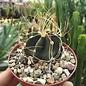 Astrophytum senile v. aureum  beflockt