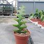 Cryptocereus anthonianus cv. Extrem