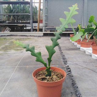 Cryptocereus anthonianus cv. Rechtwinklig