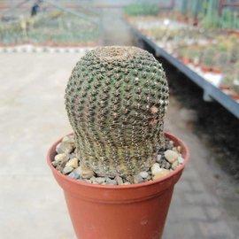 Lobivia famatimensis