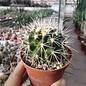 Echinocactus grusonii f. alba