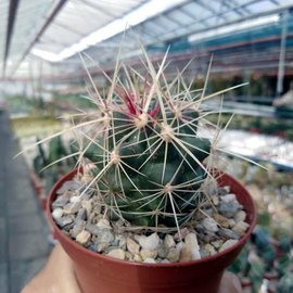 Thelocactus bicolor  ssp. blaensis Madero, Chihuahua