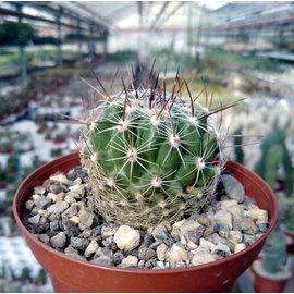 Thelocactus conothelos v. aurantiacus cv. Orangiflora